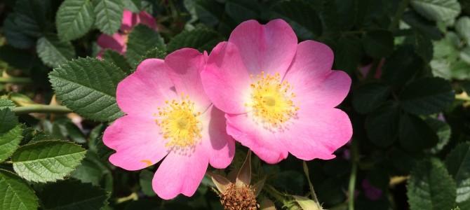 平塚花菜ガーデン バラ・ローズ 愛と優しさ・生きる喜びを感じて