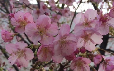 FESフラワーエッセンス チェリー/Cherry 思春期の輝きとハートの純粋な喜び